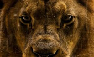 Löwe,Raubtier,Wildkatze,Lion,Löwe von Juda,