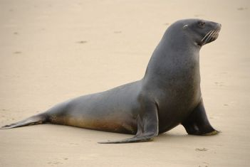 800px-New_Zealand_Sea_Lion